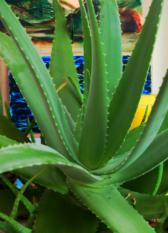 Aloe Vera Healing Magic